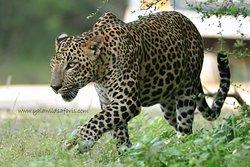Yala Wild Safaris