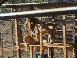 Cage Lions