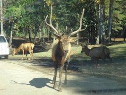 Wild animal Elk
