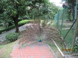 There are many Peacocks around the park