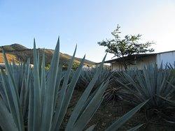 the Mezcal palenque (farm) we visited on our mezcal plantation tour with Zapotreks
