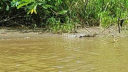 La jungle de tortuguero