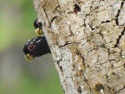 Pionus Chalcopterus/ Bronze-winged Parrot