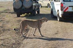 Morning game drive at Masai mara