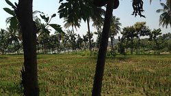 Paddy Fields. Tungabhadra on the other side..
