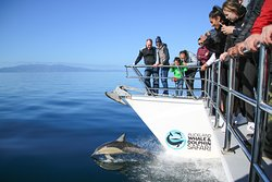 Common dolphins love to ride on the bow wave, providing fun entertainment for those on board.