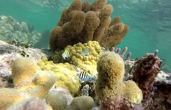 Sergeant major and variuos hairy corals