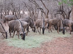Blue Wildebeest are often called ugly, but when you see them from close, we're sure you'll agree with us that the assertion is utterly false!