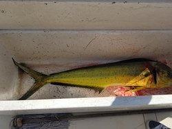 First Mahi Mahi we caught
