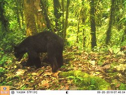 Andean Spectacled Bear caught of wildlife camera in the reserve.