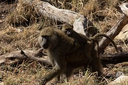 Baboon and her baby