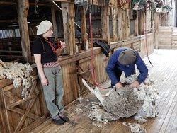 Shearing at Cerro Negro Ranch