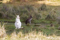 In the wild, White and Grey Wallaby on Bruny Island