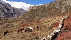 2016-10-6: Wild horses in Manang(Annapurna Circuit Trek)