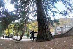 rare tree of Sequoia