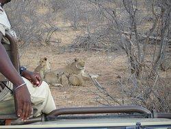 Safari matinal