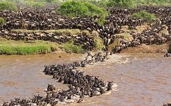 Wilder-beast crossing in Masai Mara.Come experience this spectacular migration like a local.