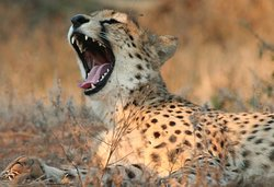 Cheetah, Greater Kruger National Park, South Africa