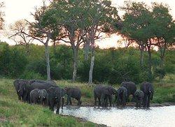 African elephant at sunset , Greater Kruger National Park, South Africa