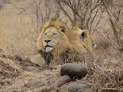 African Lion, Greater Kruger National Park, South Africa