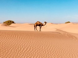 Dromedar in der Sahara
