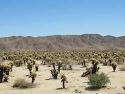 Cholla Cactus Garden in the middle of Joshua Tree National Park