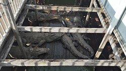 Crocodile Farm on Tonle Sap Lake - frightening and upsetting