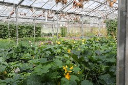 An acre of glasshoues produce a good deal of our ingredients, including these wonderful courgettes.