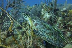 Sea turtle in Roatan