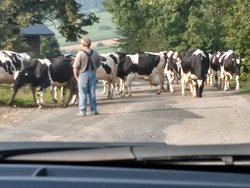 Cow traffic jams!