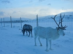 The reindeer is a beautiful animal and performs in snow and cold.