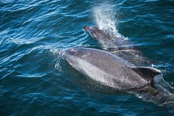 Bottlenose Dolphins  - A K Wildlife Cruises