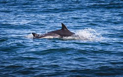 Common Dolphins  - A K Wildlife Cruises