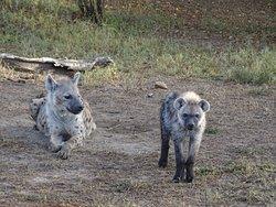 Hyenas Naboisho