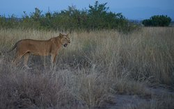 Löwin in der Dämmerung