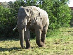 Amakhala Game Reserve - Bull elephant
