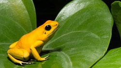 Frogs in every colour imaginable, some on the brink of extinction.