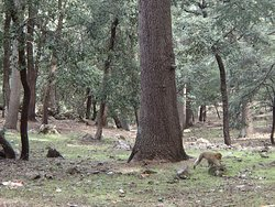 Barbary macaque in Atlas cedar forest, Ifrane National Park