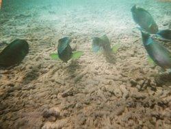 Rainbow fish eating