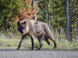Yellowstone Wildlife and Photo Tours