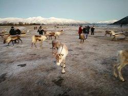 Tromsoe Arctic Reindeer Experience - Day Tours