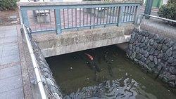 星川を泳ぐ鯉