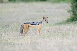 A Silver-back jackal..Probably my best ever shot of it