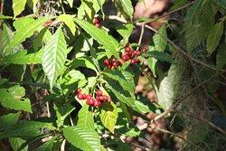 Coffee Bean berries