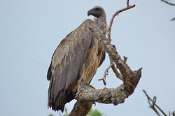 Volture resting on a tree in Kidepo Valley National Park