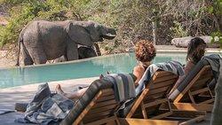 Elefant am Pool