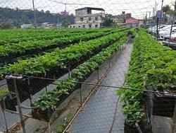 Chun Hsiang Strawberry Farm