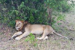 Having a rest in Serengetti