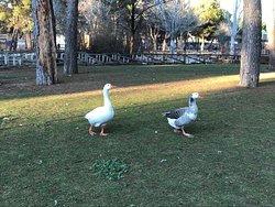 Ocas y patos