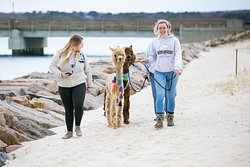 Island Alpaca Company of Martha's Vineyard